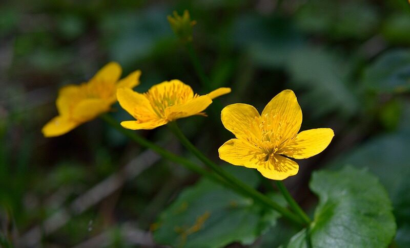 caltha-palustris-763911_960_720